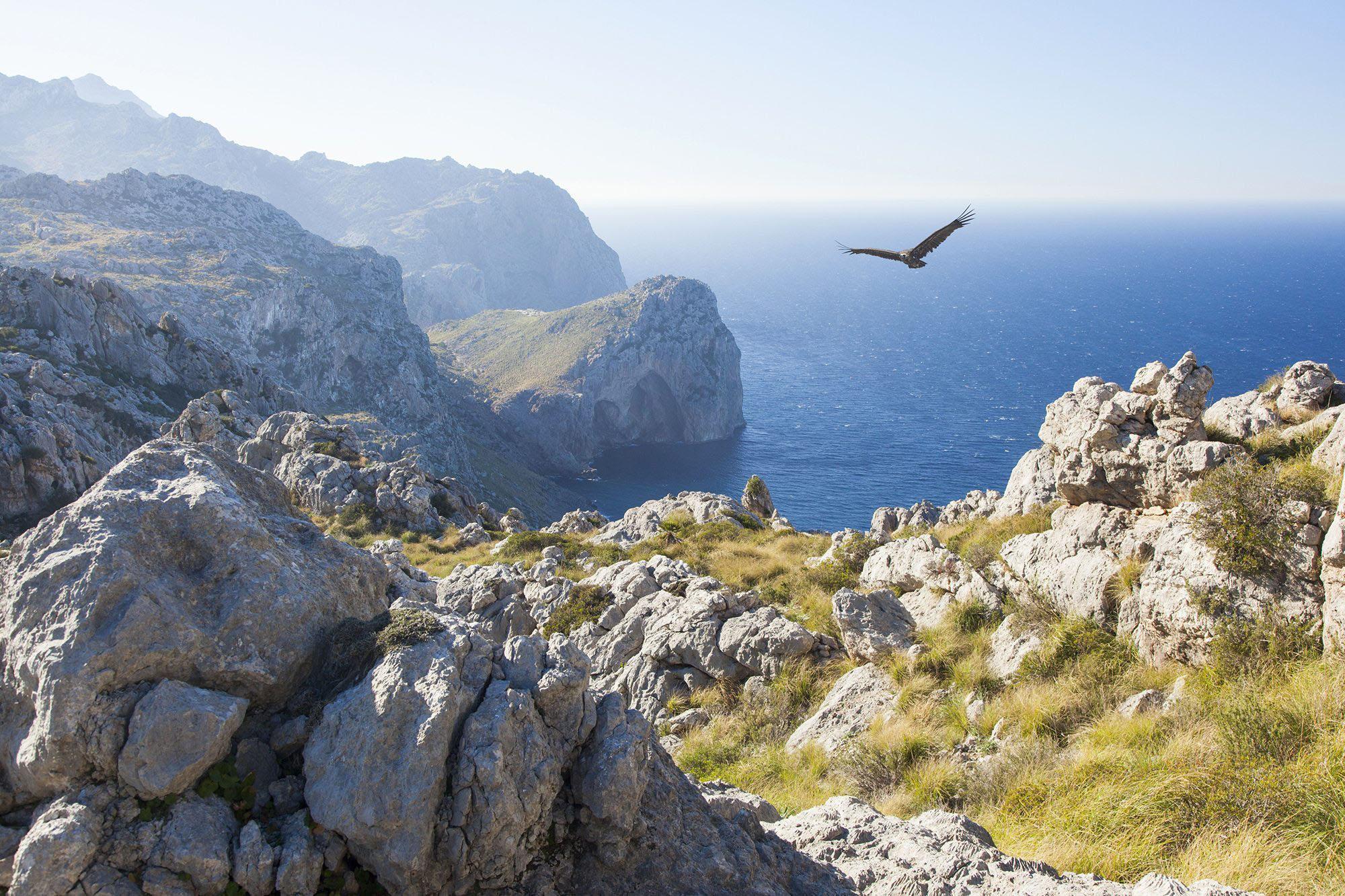 Die letzten Mönchsgeier leben auf Mallorca.