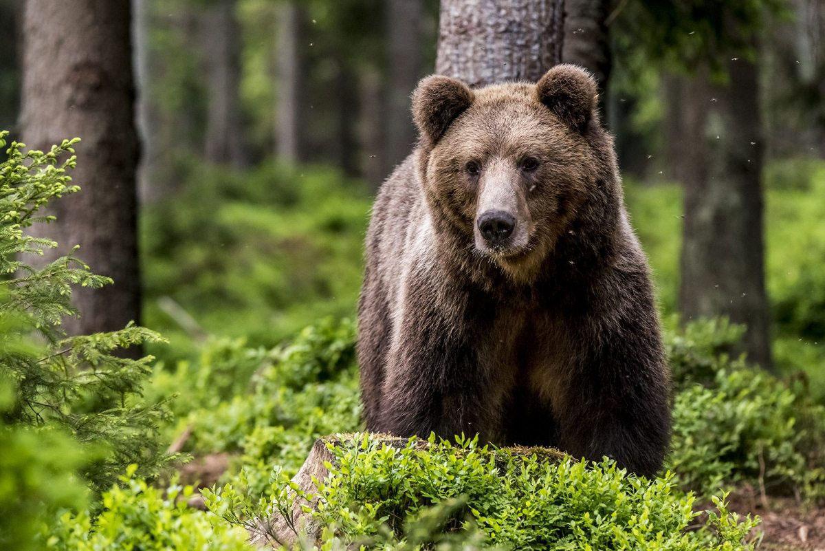 Südlich des Făgăraș-Gebirges in den rumänischen Karpaten schlugen 90 Greenpeacer im Sommer ein Waldschutzcamp auf. Die dort heimischen Braunbären haben sich nur selten gezeigt, Spuren fanden die Waldschützer aber zuhauf.