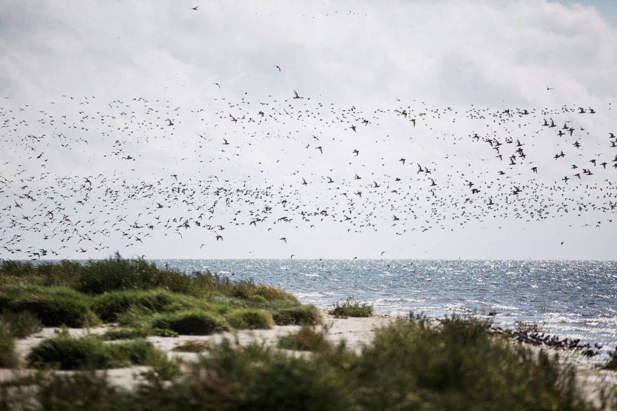 Vogelparadies: Tausende Vögel landen auf der Insel, um zu brüten und zu rasten, auch viele in Deutschland stark bedrohte Arten wie Bekassine oder Alpenstrandläufer.