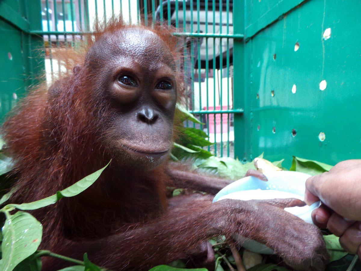 Besonders die Orang-Utans bleiben bei der Brandrodung auf der Strecke. Dieses Baby wurde von einem Dorfbewohner gerettet.