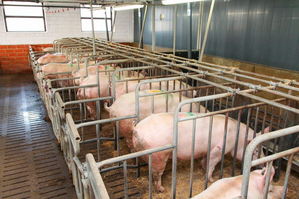 Die meisten Schweine in Deutschland werden in engen Ställen auf Spaltenböden gehalten – wie diese Sauen in den umstrittenen Kastenständen