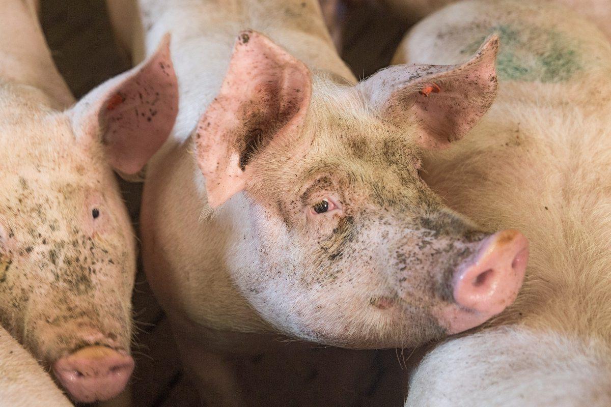 Schweine sind intelligente und sensible Tiere, die in der Natur gern laufen, wühlen und spielen. In der Turbomast bleibt davon nichts übrig.