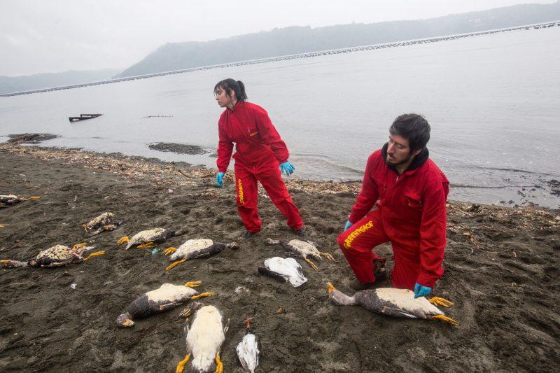 Millionen Tiere verendeten 2016 aufgrund einer giftigen Algenblüte vor der chilenischen Insel Chiloé. Sie entstand, weil tonnenweise tote Lachse im Meer entsorgt worden waren.