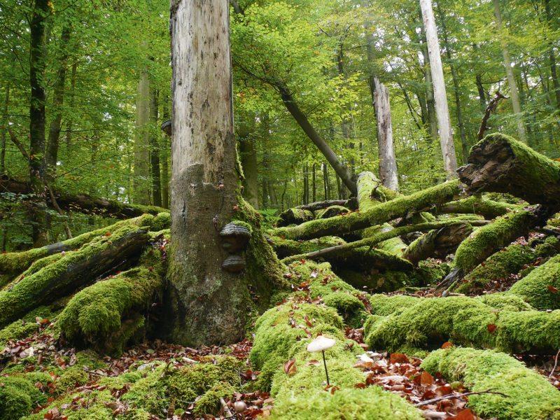 Wenn Bäume absterben, bieten sie Lebensraum für Pilze, Käfer, Vögel und Fledermäuse.