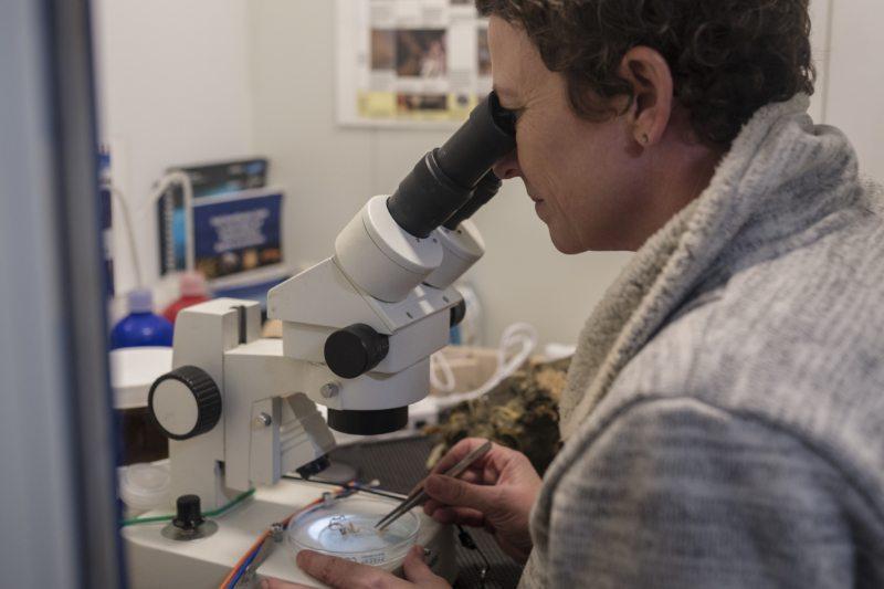 Die Biologin Dr. Susanne Lockhart untersucht an Bord ein Moostierchen unter dem Mikroskop. Die winzigen Vielzeller leben meist in Kolonien am antarktischen Meeresgrund.