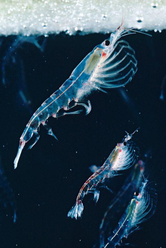 Die winzigen Krillkrebse fressen Mikroalgen von der Unterseite des Eises und spielen eine zentrale Rolle in der antarktischen Nahrungskette. Blauwale können mit nur einer Maulfüllung bis zu 500 Kilo Krill verschlingen.