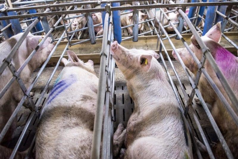 Diese engen Kastenstände verstoßen gegen die Nutztierhaltungsverordnung, deshalb zeigte Greenpeace den Schweinehalter Gut Thiemendorf an.