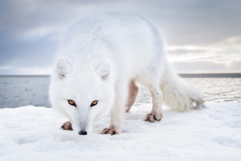 Der in der Polarregion beheimatete Eisfuchs zählt zu den Tierarten, die von der globalen Erwärmung am stärksten betroffen sind