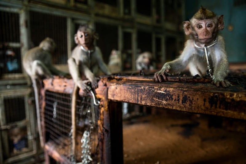 Auch der Kontakt mit Affen birgt Gefahren. Affen werden als Haustiere gehalten, gejagt und gegessen