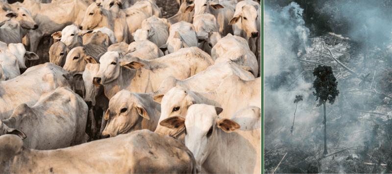 Immer mehr Regenwald muss für die Rinderzucht weichen – der EU-Mercosur-Vertrag würde die Abholzung befeuern