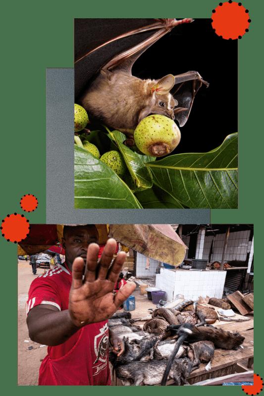 Zwei Welten: In der Wildnis verspeist eine Fledermaus eine reife Feige. Auf Märkten wie hier in Kamerun werden Wildtiere gehandelt