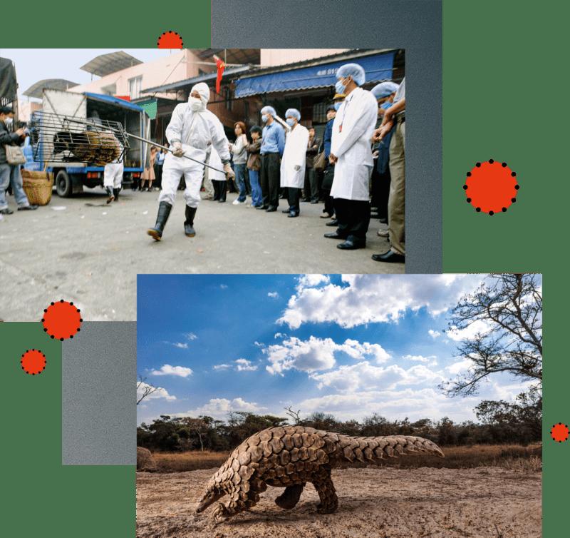 SARS-Bekämpfung: 2004 werden im chinesischen Guangzhou Schleichkatzen sichergestellt (oben). Pangoline sind bedroht und begehrt: In Asien gelten sie als Delikatesse (unten).
