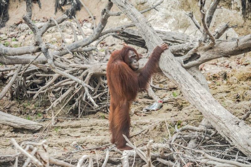 2019 stand Indonesien in Flammen, Experten zählten fast 2000 Waldbrände. Die Feuer rauben vor allem bedrohten Tierarten wie Orang-Utans ihren Lebensraum.