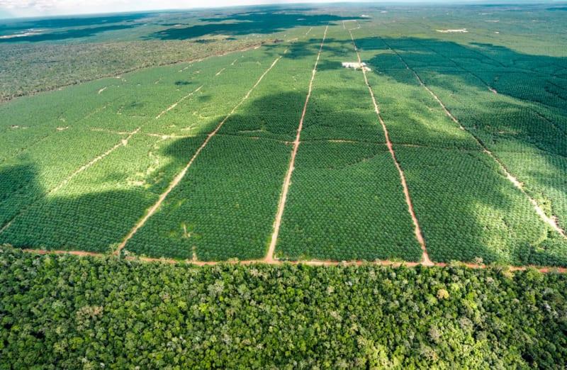 Wie hier in Indonesien werden Jahr für Jahr große Flächen Regenwälder abgeholzt – sie müssen Ölpalmenplantagen weichen