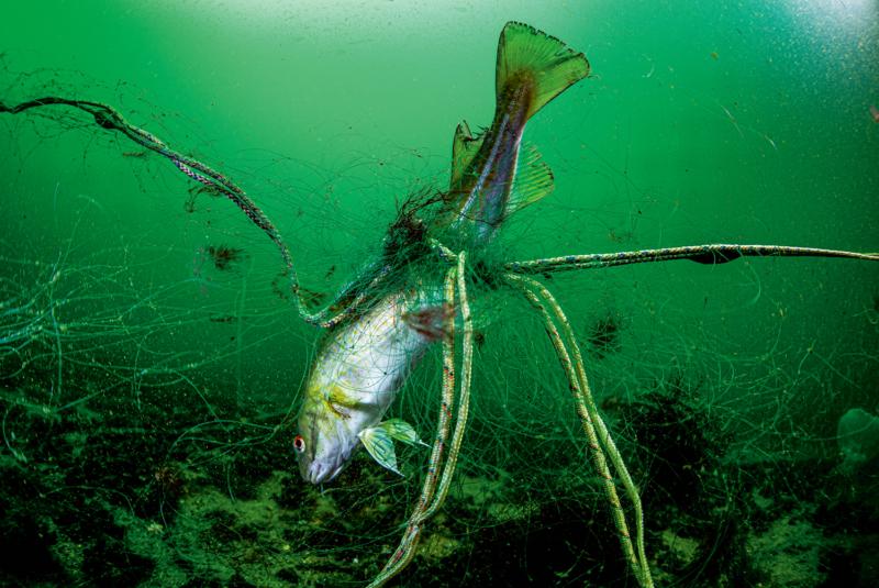 In Netzen verenden nicht nur Fische, sondern oft auch tauchende Seevögel